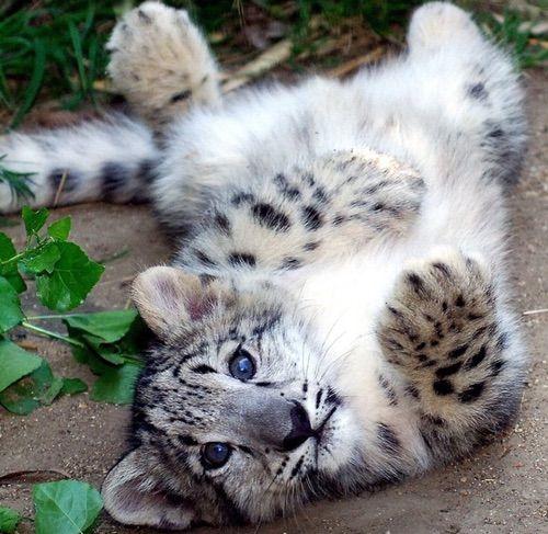 Image via We Heart It https://weheartit.com/entry/170871871 #animal #nature #tiger #wild #snowleopard #itsnotatigeromfg