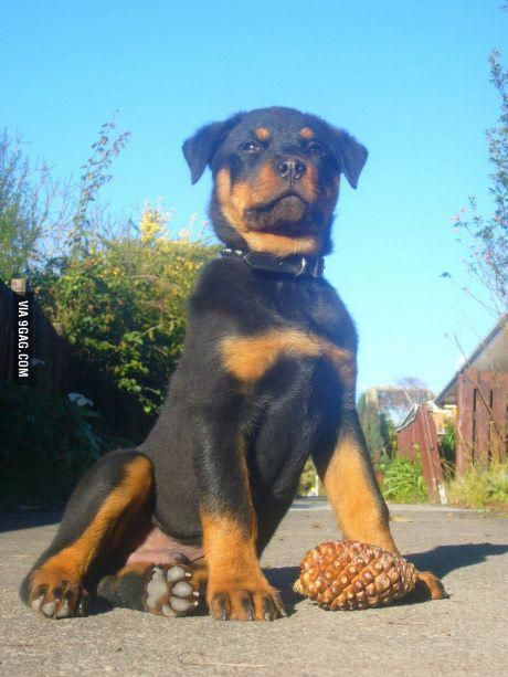 Just My Rottweiler Pup Looking Majestic Af Rottweilerpups