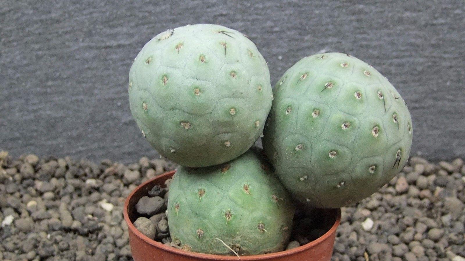 cacti 8K10 Tephrocactus geometricus select XL size, flowerpot is 6,5 cm | eBay
