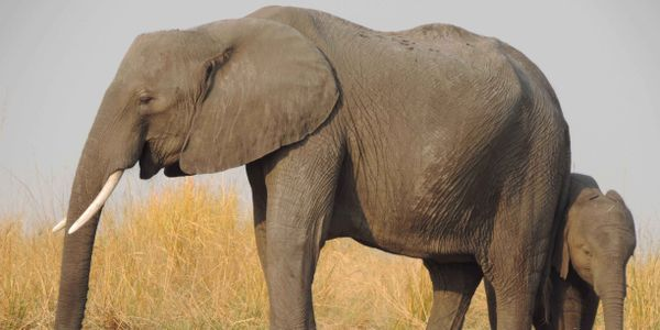 South African Airways reinstate the ban on the transportation of hunting trophies, especially ivory