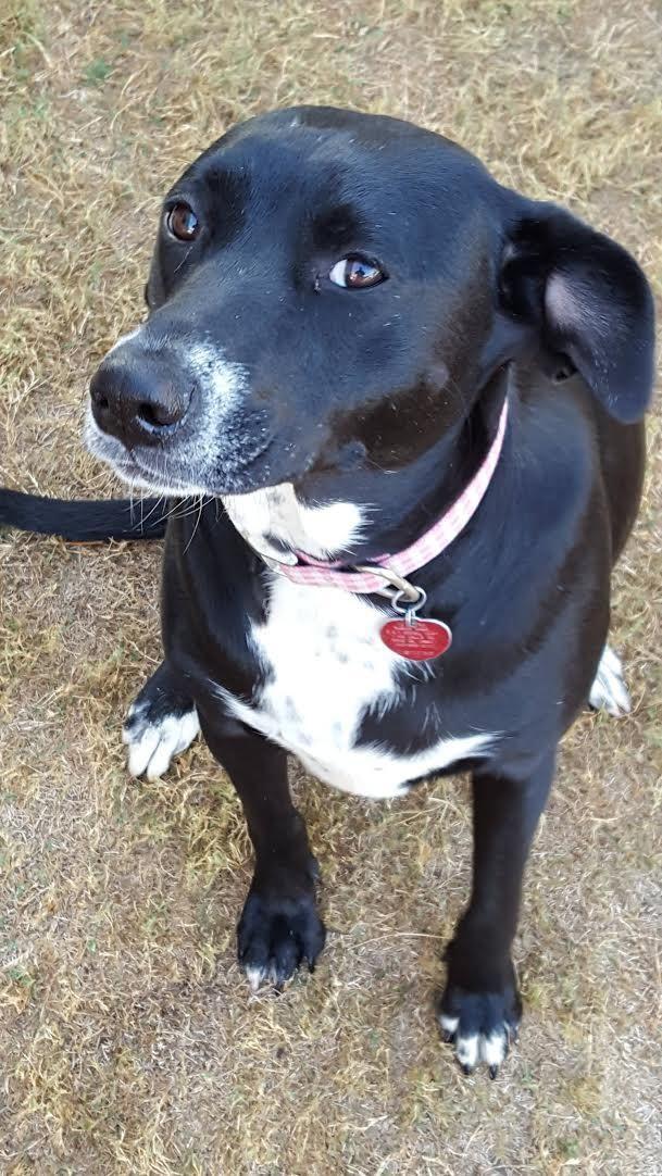 Borador Dog For Adoption In Huntsville Al Adn 500137 On