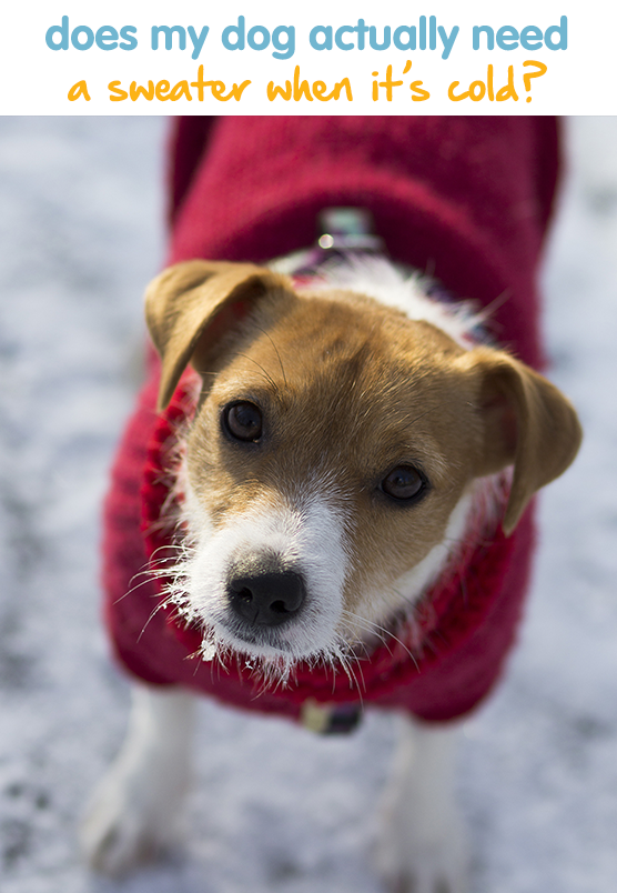 Does My Dog Actually Need A Sweater Or A Coat When It S Cold Dog Behavior Pet Blog Dogs