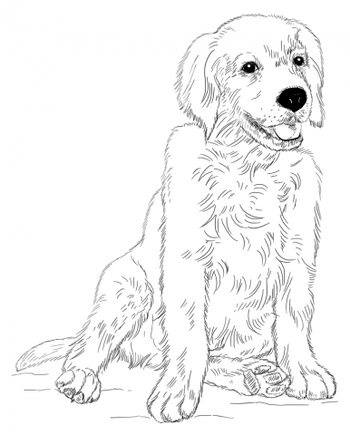 Golden Retriever Puppy Coloring Page Art Draw Animals Pinterest