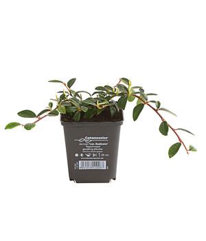 Bodendecker Efeu Pflegeleichte Pflanzen Dehner Pflegeleichte Pflanzen Bodendecker Mispel