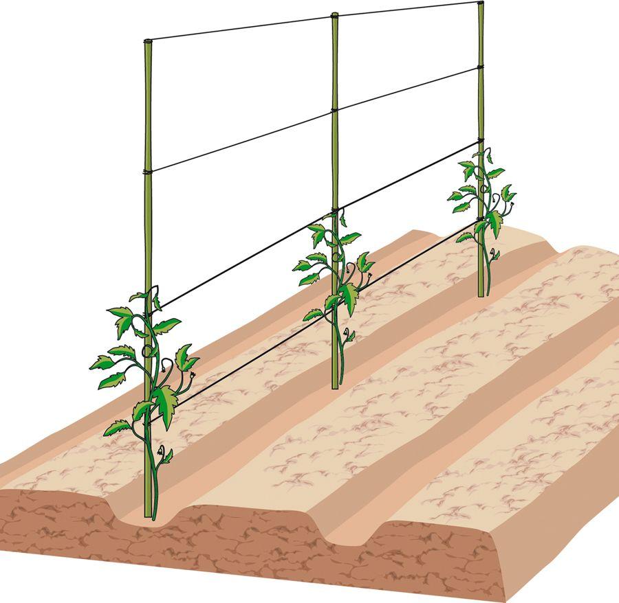 Sostegni Per Pomodori In Vaso trapiantare i pomodori nell'orto   piante di pomodori, orto