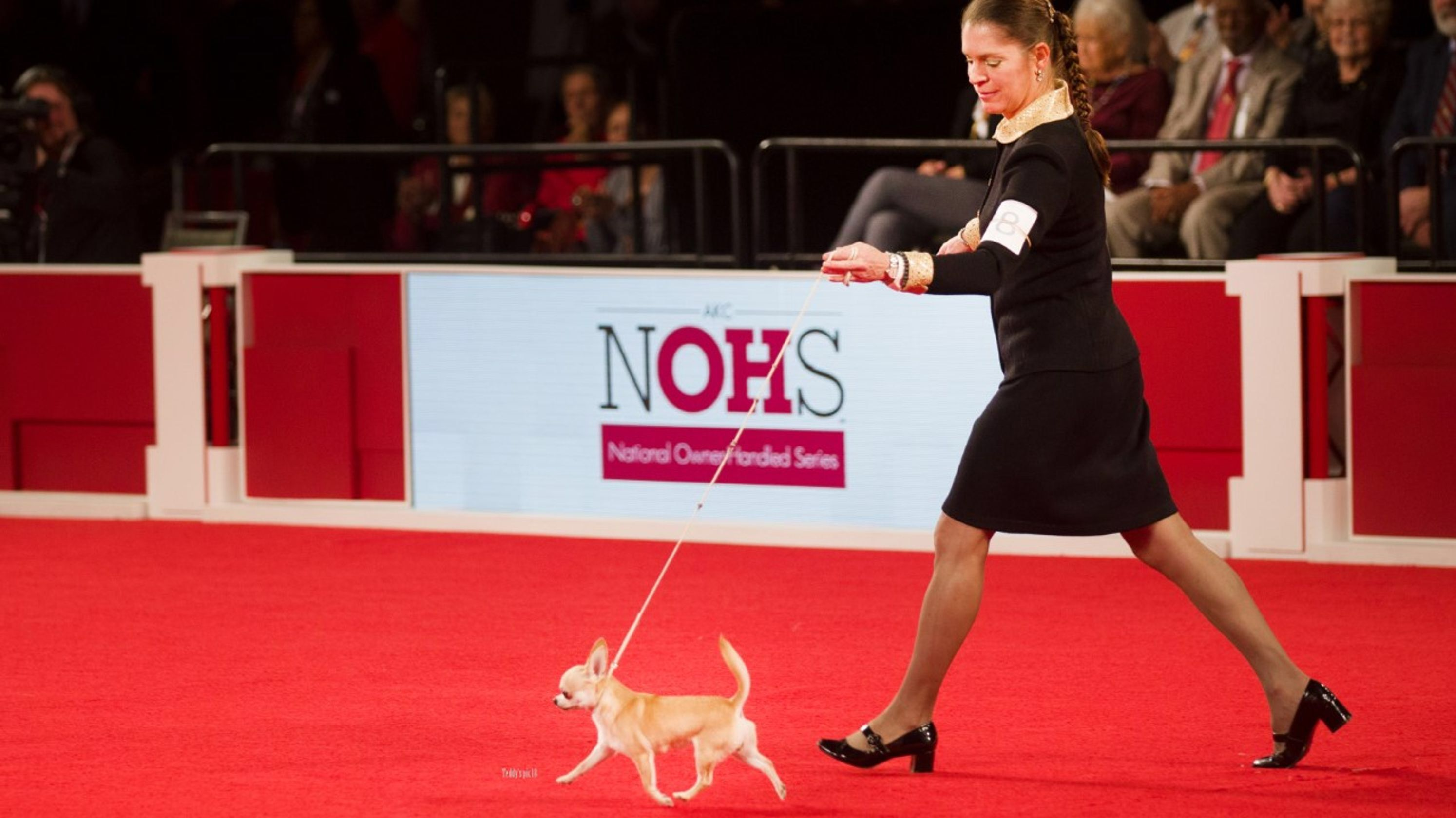 2019 Westminster Dog Show Delaware Chihuahua Wins Best Of Variety