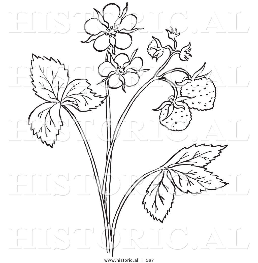 Accurate Strawberry Plant