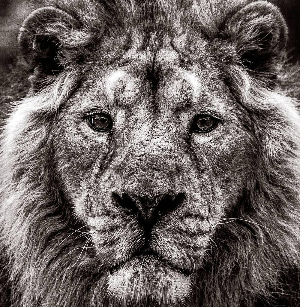 The Lion Photographie De Denis Debadier Photos De Lion Photo