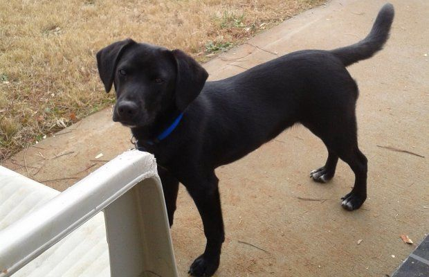 Beagle Mix With Lab Lab dogs, Beagle mix, Beagle