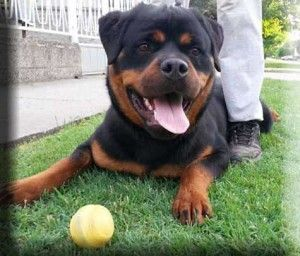 Templinhaus Rottweilers Rottweiler Puppies For Sale In Idaho