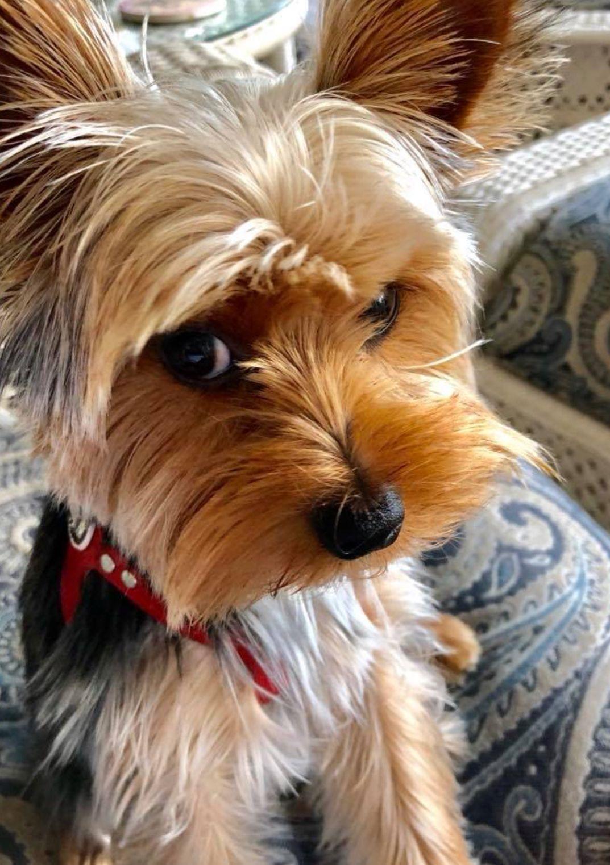 Yorkie Eye Roll Yorkshireterrier Yorkie Terrier Yorkie Puppy Care Cute Funny Dogs