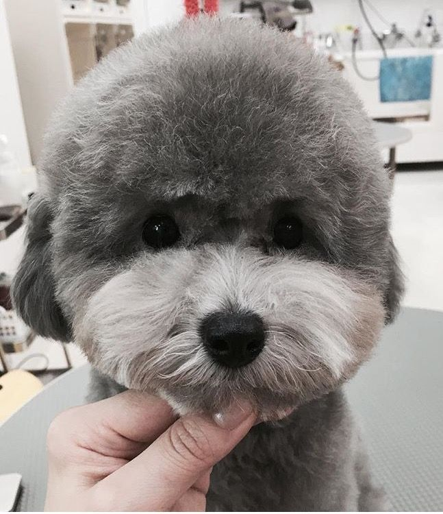 Nice Poodle Face Poodle Puppy Poodle Dog Grooming