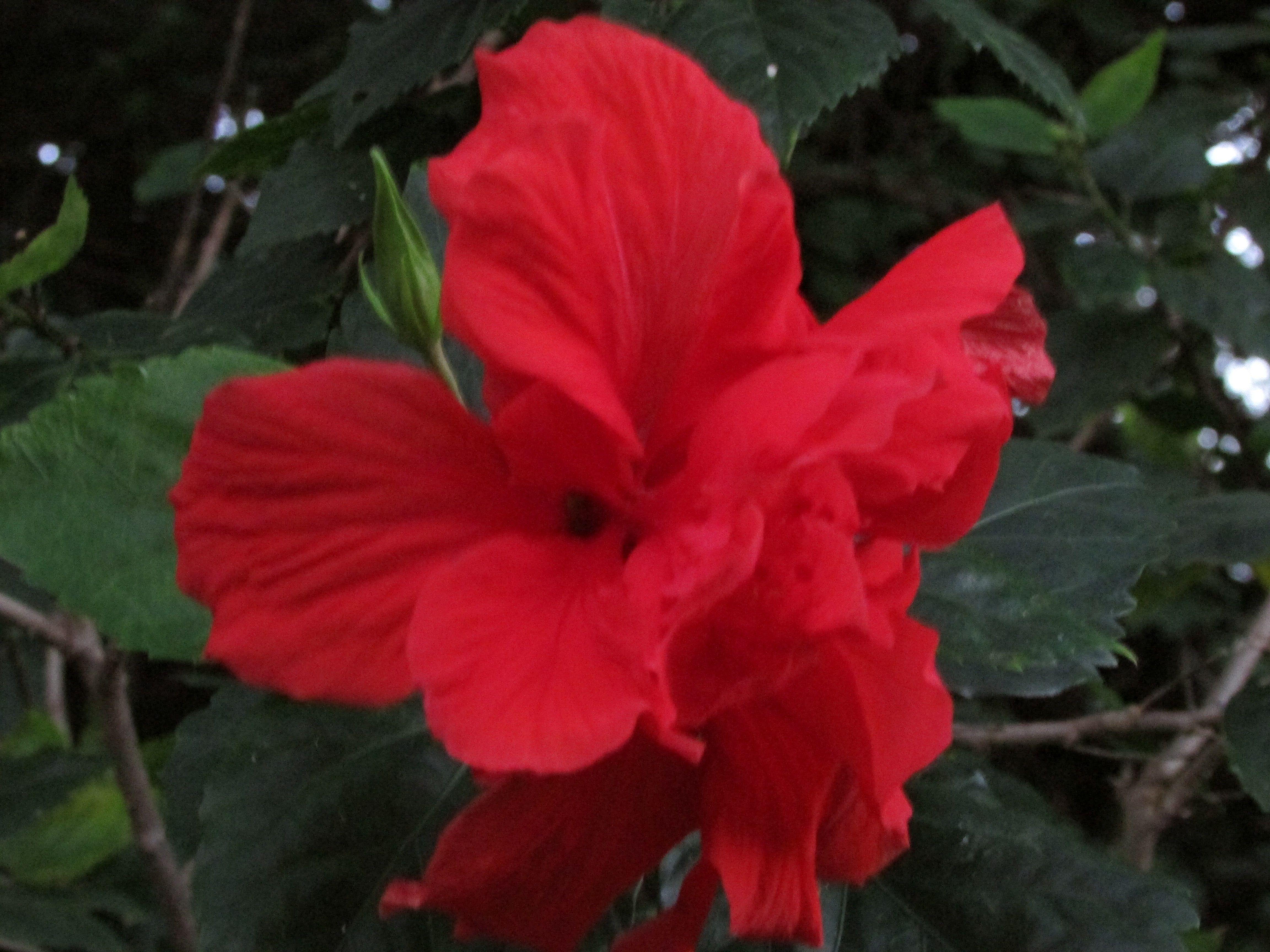 Kauai hi hisbiscus the hawaiian state flower koi pond and kauai hi hisbiscus the hawaiian state flower hibiscus flowerskauai izmirmasajfo