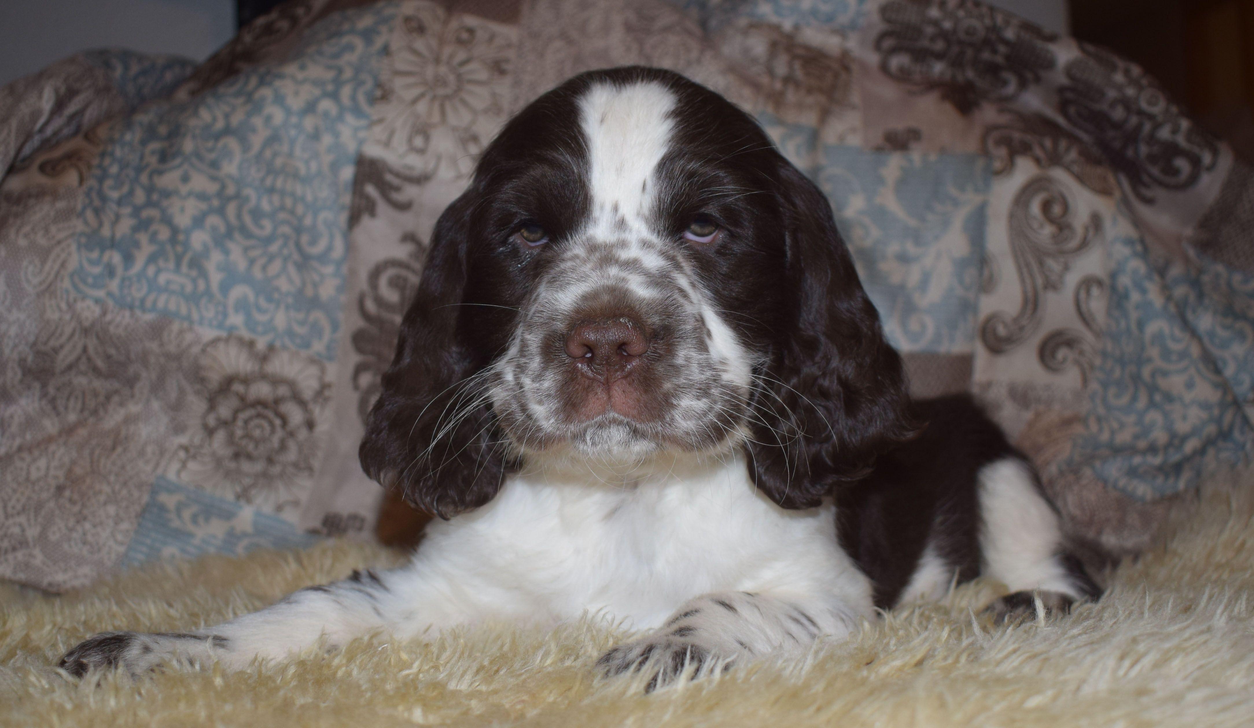 Meet Iceman AKC English Springer Spaniel dogs for sale