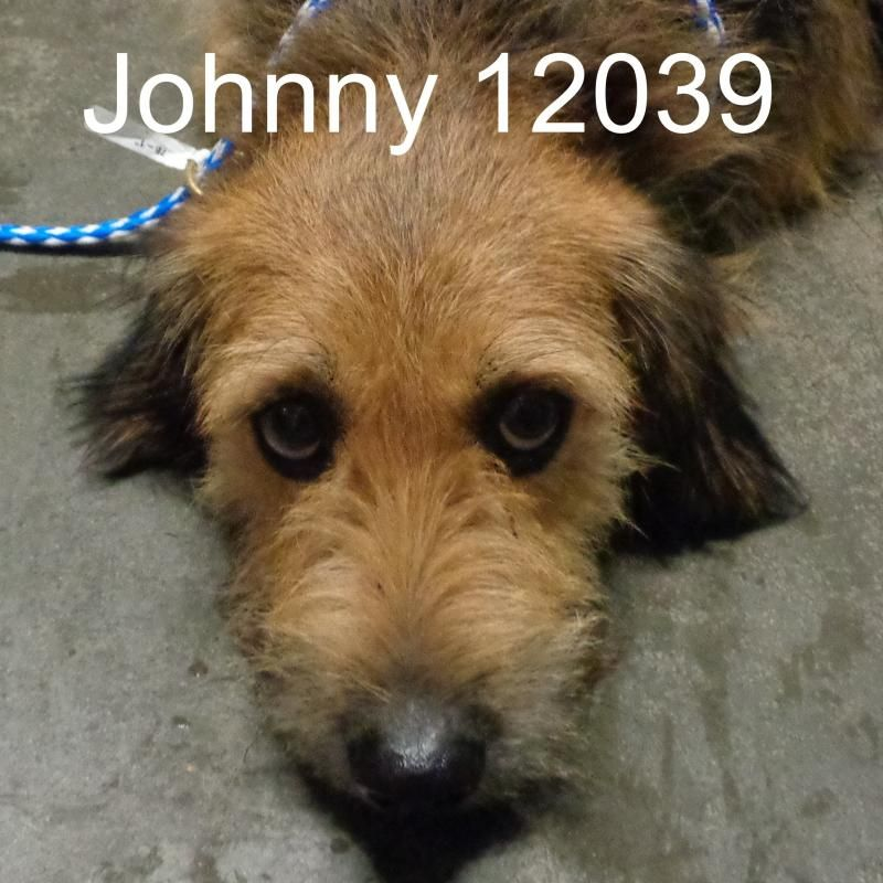 Johnny is an adoptable Cairn Terrier searching for a forever family near Morganton, NC. Use Petfinder to find adoptable pets in your area.