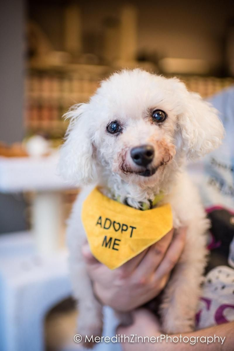 New York Ny Eve S Sanctuary Animal Rescue Meet Johnny 14lbs An Adoptable Bichon Frise Looking For A Fo Animal Rescue Stories Adoption Poodle Mix Dogs