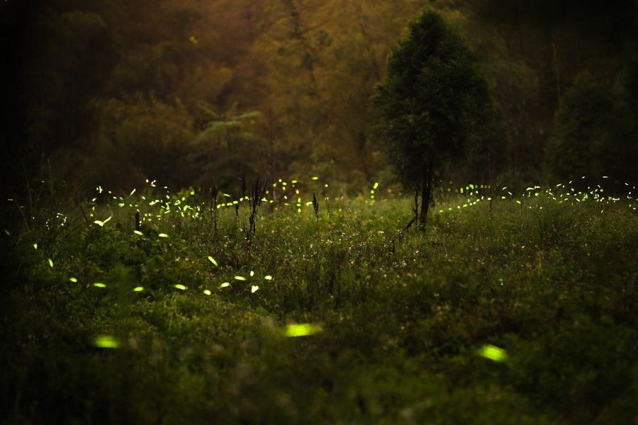 Fireflies13 Fireflies in the Forest