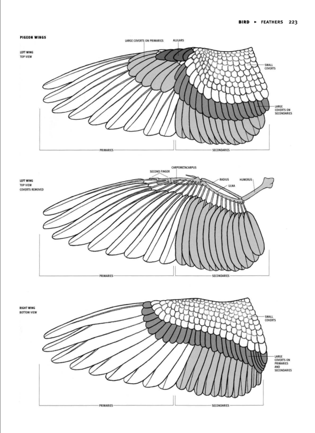 Pigeon Wing Diagram Wings Drawing Bird Wings Anatomy For Artists