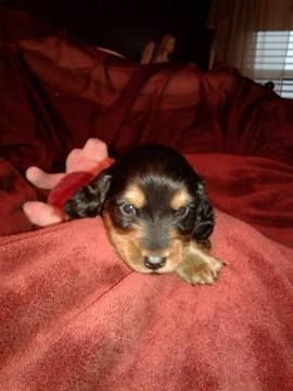 Litter Of 8 Dachshund Puppies For Sale In Denver Co Adn 26930 On