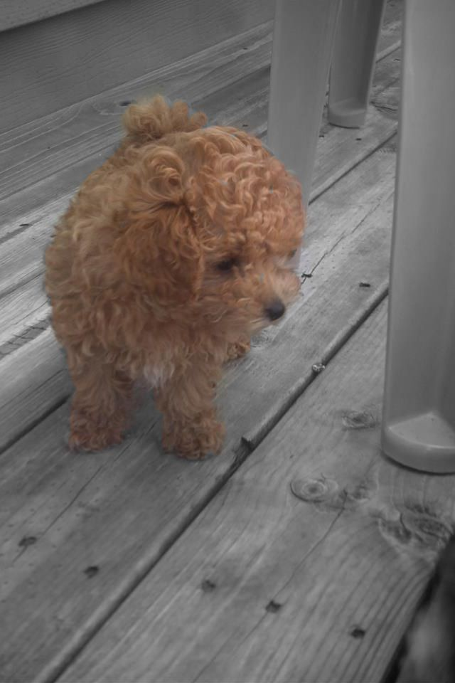 Toy poodle breeders new york