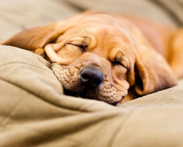 Maybelle 10 Week Old Bloodhound Sleeping Dogs Bloodhound Bloodhound Puppies