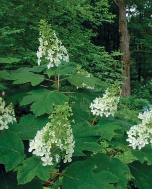 Snowflake Oakleaf Hydrangea The Only Shrubs You Need To Grow A Garden Designer Recommends Eight Plants That Provide Reliable Good Looks Without Lot