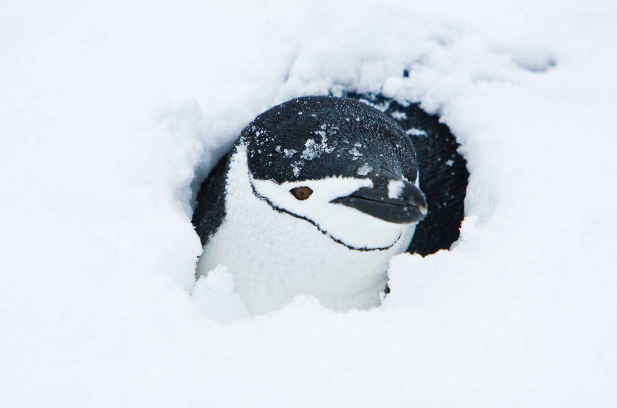 Chinstrap penguin | Nature | Penguins, Antarctica, Animals