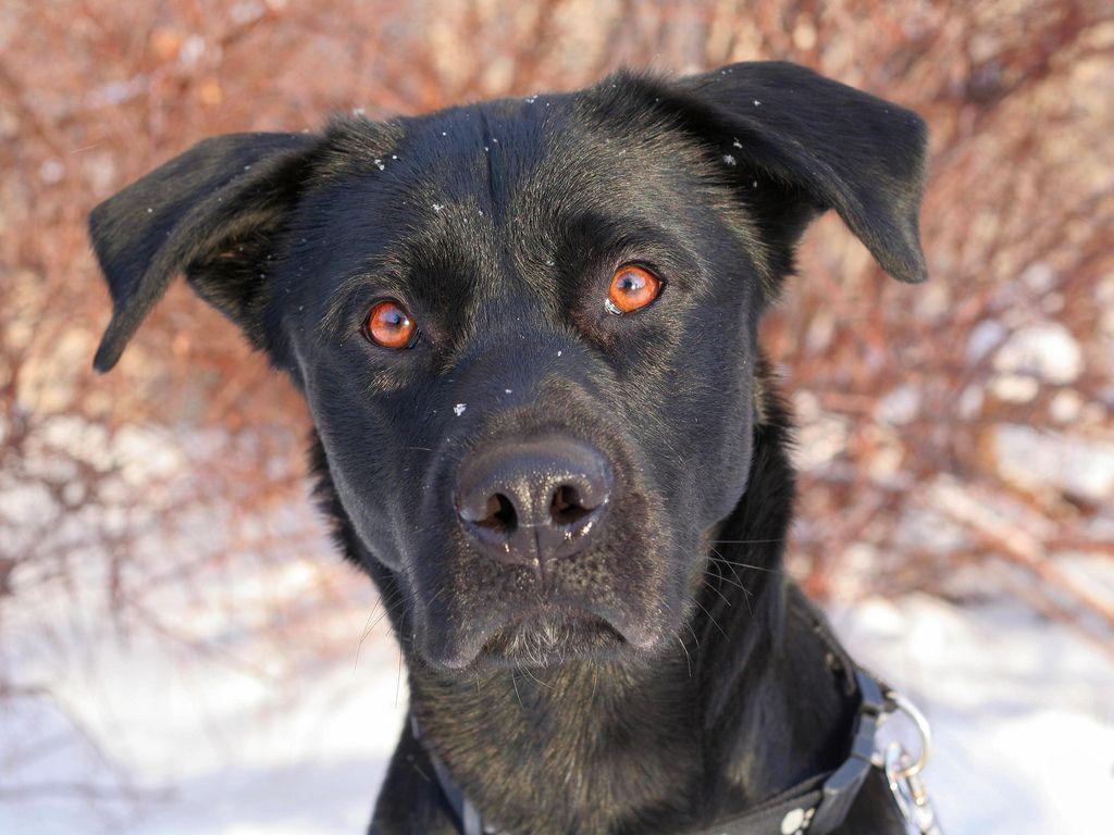 Golden Retriever Black Lab Mix Puppies Photos Animals