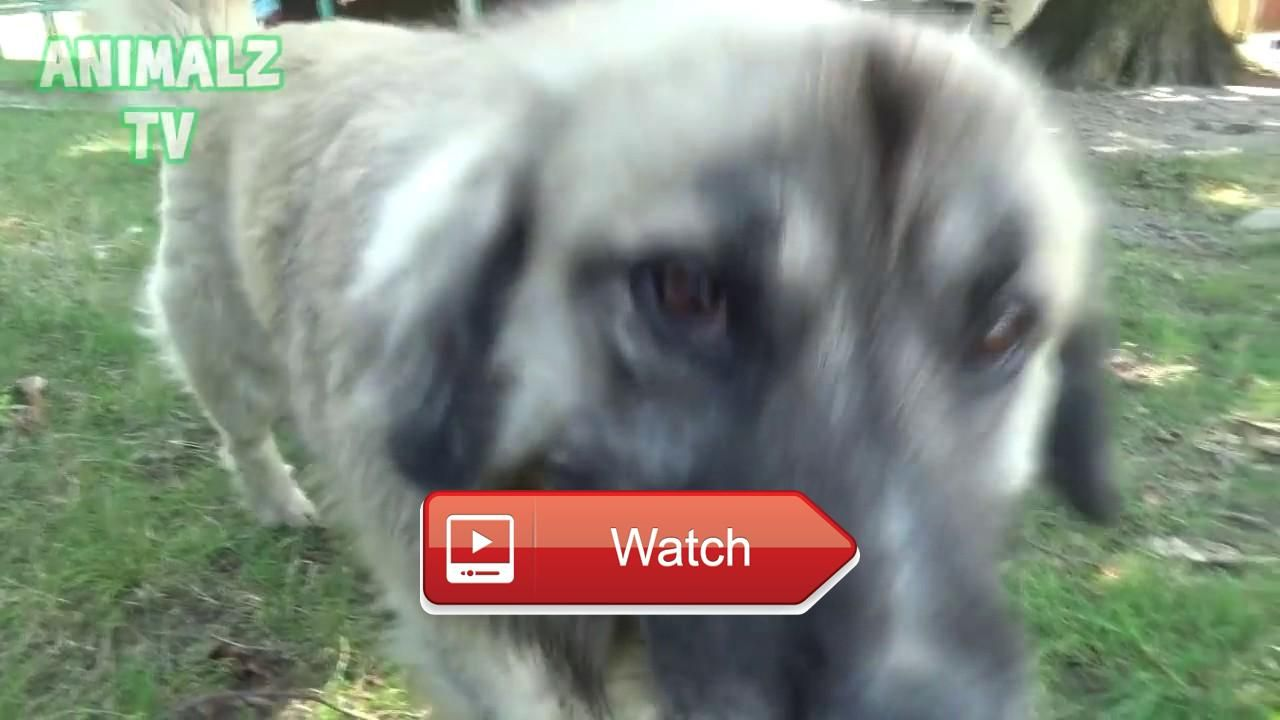 Funny pets Mesi the Dog Reacts to Cats Meowing Video Its very