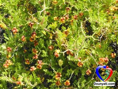 دنيتي فوائد نبات البلان Plants Old And New Testament Illustration