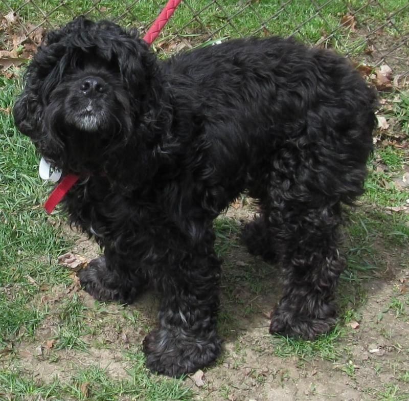 Adopt 35 Midnight/Adopted on Cocker spaniel dog, Funny