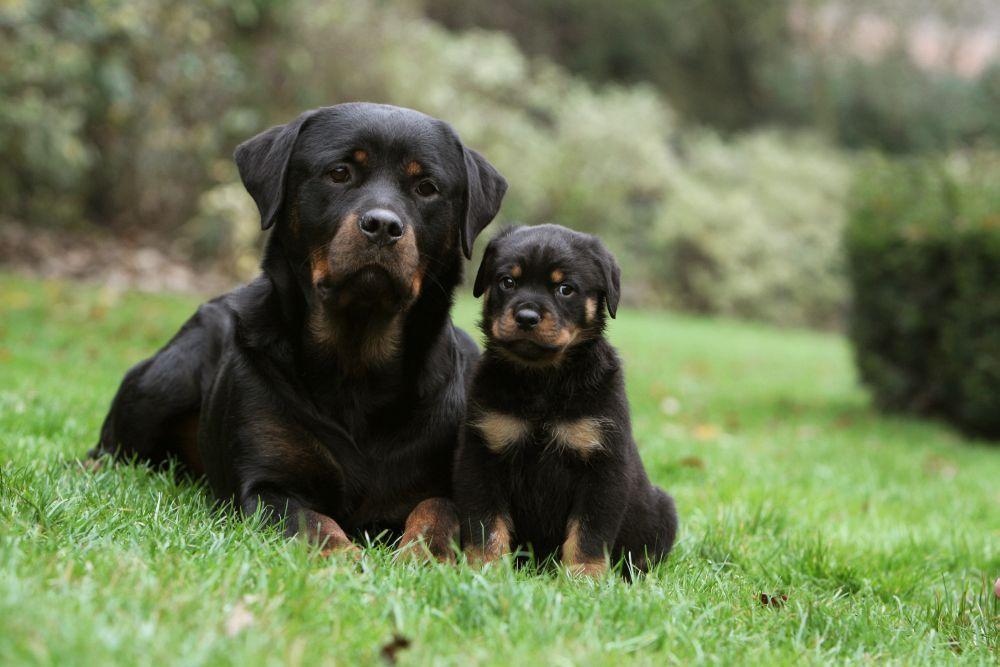 Rottweiler Zuchter Hunde Rottweiler Hund Rottweiler