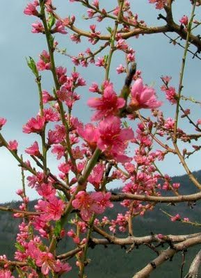 Perennial Favorites Blog Peach Trees Fruit Trees Flower Garden