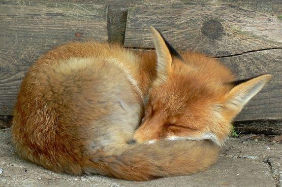 Kettu unessa