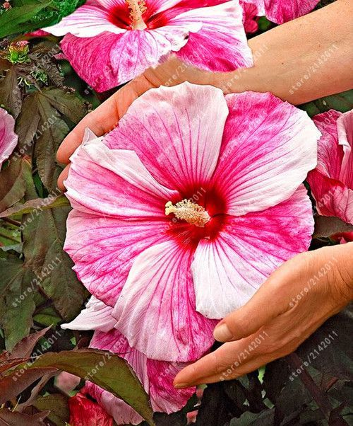 100pcs Bag Hibiscus Flower Seeds Giant Hibiscus Seed Bonsai Flower Seeds Outdoor Plant Seeds For Home Garden Easy Hibiscus Plant Flower Seeds Hibiscus Flowers