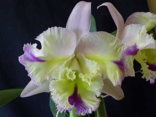 Electronics Cars Fashion Collectibles Coupons And More Ebay Orchid Plants Orchids Cattleya