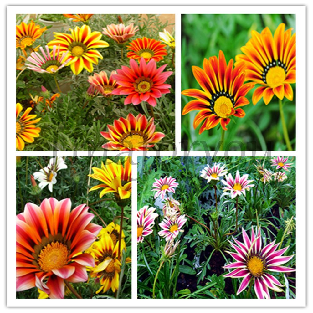 Gatsania flower: photo, description, growing from seed, planting and care in open ground 46