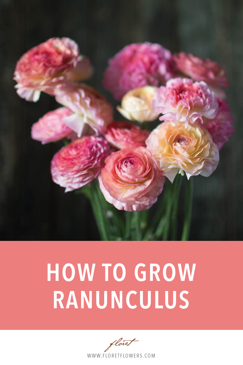How to Grow Ranunculus - Floret Flowers