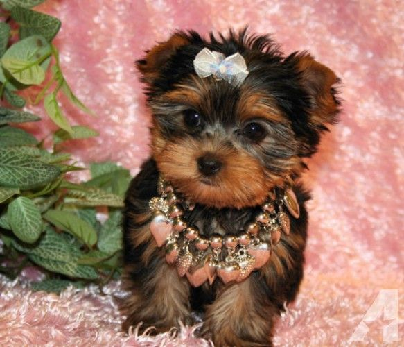 Tiny Teacup Yorkie Puppies For Sale In Ohio Hello Berlin Teacup Yorkie Puppy Yorkie Puppy Yorkie