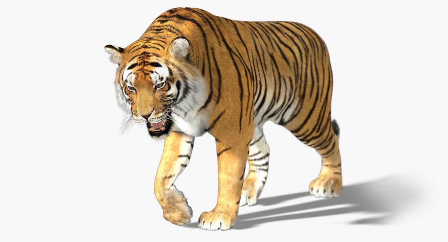 3d Tiger Fur Animation Model Tiger Fur Tiger Animation