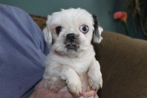 Homer Glen Il Shih Tzu Meet Buddy A Dog For Adoption Shih Tzu Pets Pet Adoption