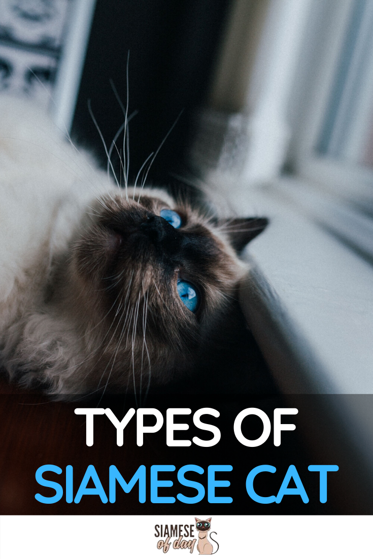 How Many Types Of Siamese Are There Here S The Answer Siamese