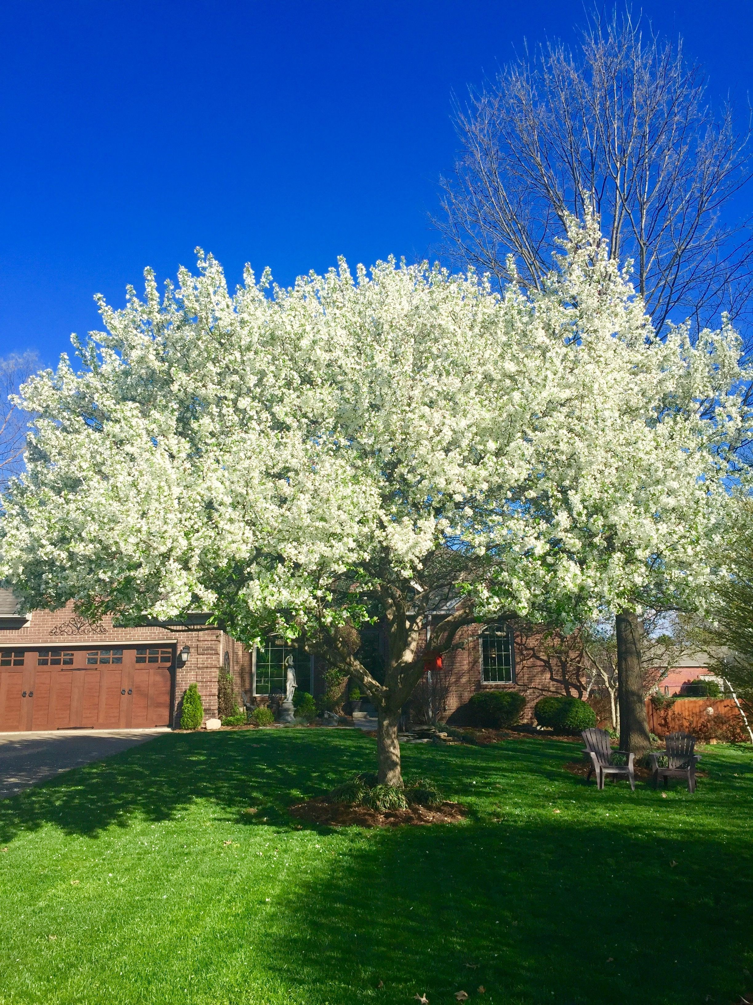 Beautiful White Flowering Crabapple Tree In Our Front Yard