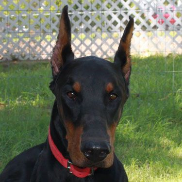 Doberman Puppies For Sale Google Search With Images Doberman