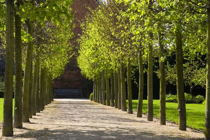 The Lime Tree Walk in the garden at Coughton Court ...