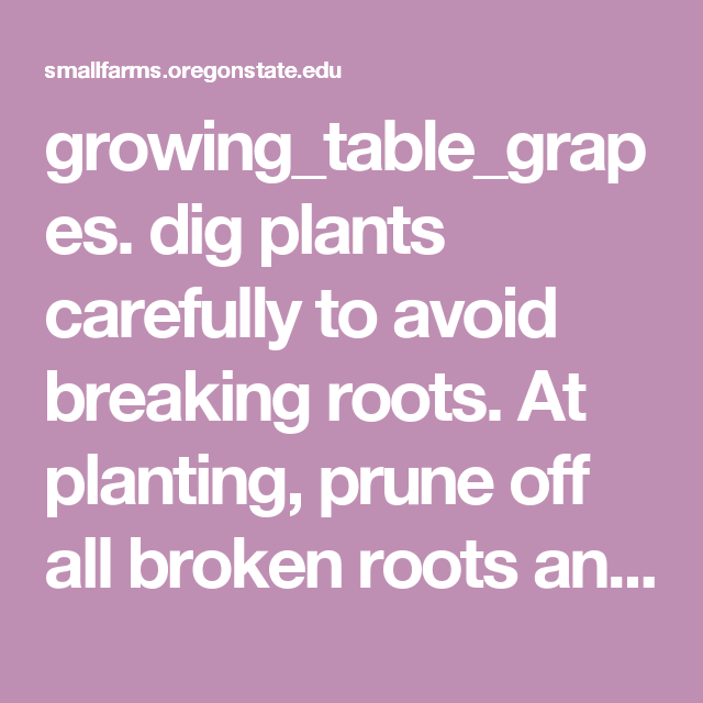 growing_table_grapes  dig plants carefully to avoid breaking