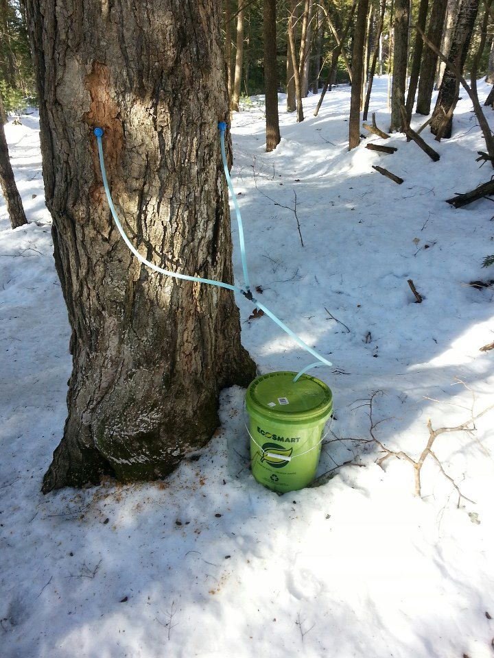 Sap S Running In The Roberts Farm Preserve Norway Maine Pure
