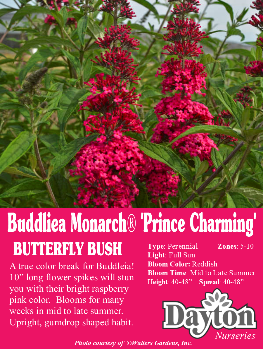 Buddleia Monarch® \'Prince Charming - Butterfly Bush - A true color ...