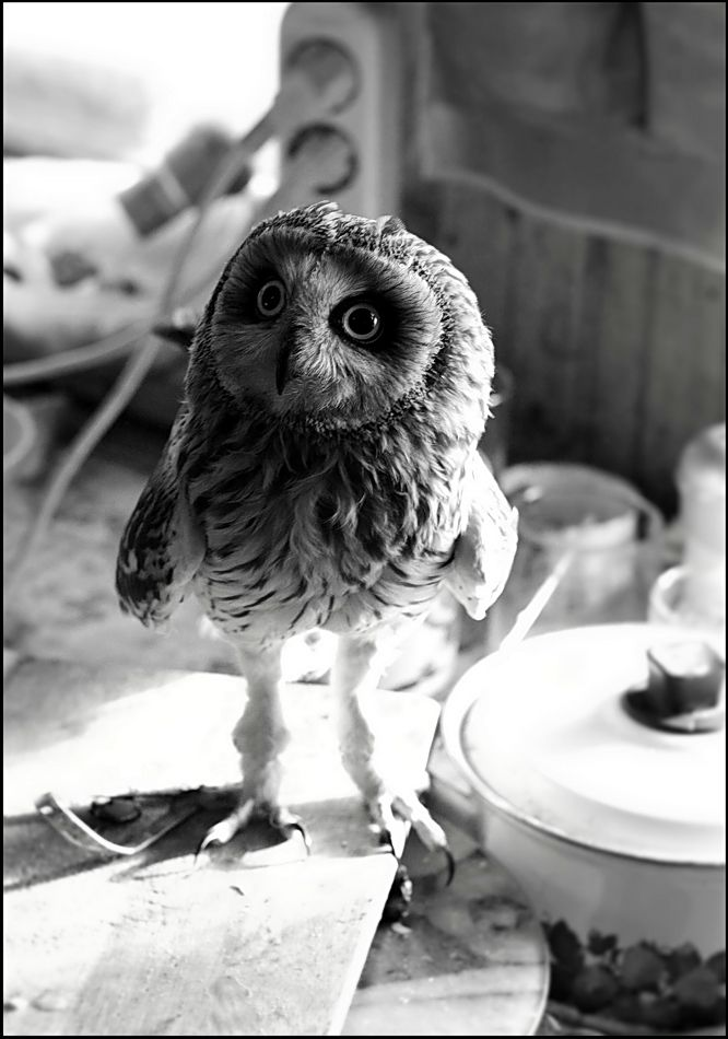 baby owl.  one time one rode my dad's truck grill all the way home and then spent the night in shock with us until we could take it to the vet in the morning.