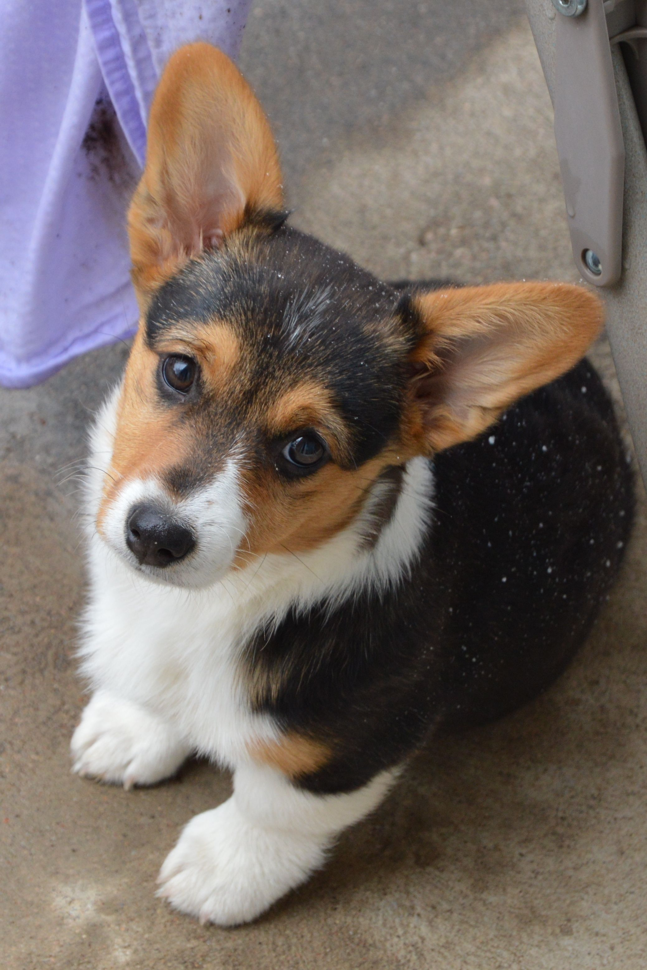 Pembroke Welsh Corgi Alert And Affectionate Corgi Cute Corgi